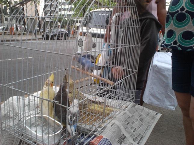 Calopsitas comercializadas a R$120,00